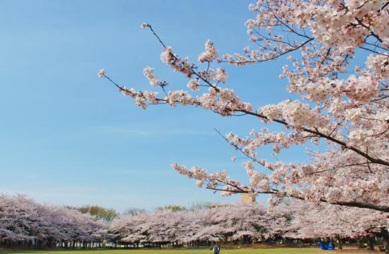 蕨市民公園 桜まつり